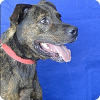 Pit Bull Terrier Mix Dog for adoption in Carneys Point, New Jersey - DeSoda