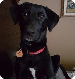 Labrador Retriever Mix Puppy for adoption in Austin, Texas - Dixon