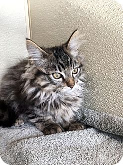 Domestic Longhair Kitten for adoption in Las Vegas, Nevada - Zyan