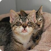 Adopt A Pet :: Tabby Kitties - Westerly, RI