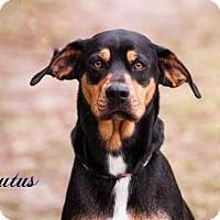 Adopt A Pet :: Brutus - Middleburg, FL
