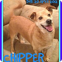 Adopt A Pet :: CHIPPER - Albany, NY