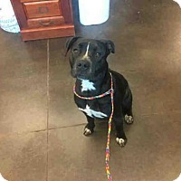 Adopt A Pet :: A029154 - Norman, OK