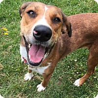 Coonhound/Labrador Retriever Mix Dog for adoption in Sparta, New Jersey - Guppy