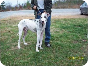 Great Dane Dog for adoption in Hohenwald, Tennessee - Harley Quinn