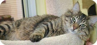 Domestic Longhair Cat for adoption in Edmonton, Alberta - Checkers