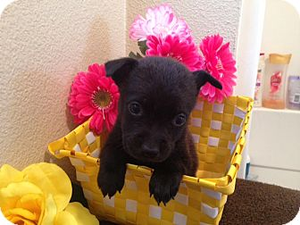 Labrador Retriever/German Shepherd Dog Mix Puppy for adoption in Inglewood, California - Jasmine