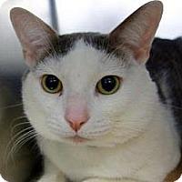 Adopt A Pet :: Minino - New York, NY