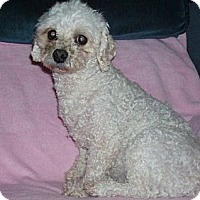 Bichon Frise/Poodle (Miniature) Mix Dog for adoption in Homer, New York - Vivianna