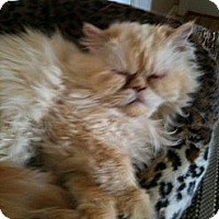 Adopt A Pet :: Bella - Pittstown, NJ