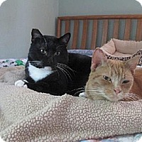 Domestic Shorthair Cat for adoption in St. Paul, Minnesota - Ford