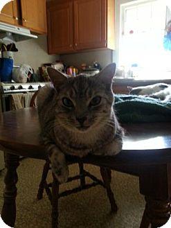 Domestic Shorthair Cat for adoption in Statesville, North Carolina - Smokey