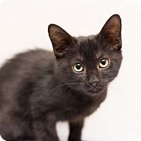 Adopt A Pet :: Angelo - Fountain Hills, AZ