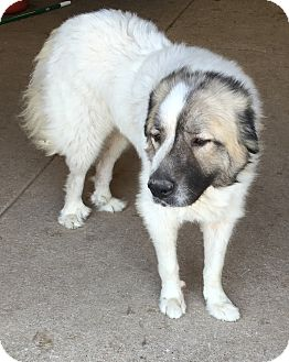 Great Pyrenees Dog for adoption in Troy, Missouri - Cooper