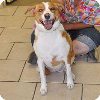 Labrador Retriever Mix Dog for adoption in Sunrise Beach, Missouri - Buttercup