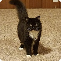 Domestic Longhair Cat for adoption in Princeton, Minnesota - Tootles