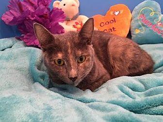 American Shorthair Cat for adoption in Santa Fe, Texas - Sophie