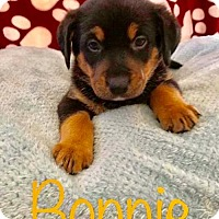 Adopt A Pet :: PP - Bonnie - Tucson, AZ