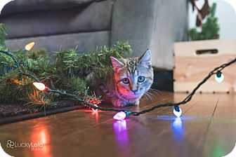 Domestic Shorthair Kitten for adoption in Columbus, Ohio - Sassy