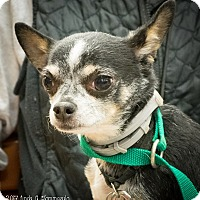 Adopt A Pet :: Choop - Loudonville, NY