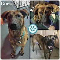Adopt A Pet :: Guess - Kimberton, PA