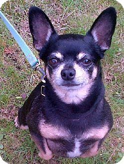 Chihuahua Mix Dog for adoption in Toronto, Ontario - Rascal