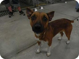Terrier (Unknown Type, Small) Mix Dog for adoption in Buffalo, Wyoming - Spike