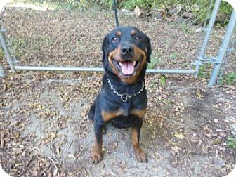 Rottweiler Dog for adoption in Gary, Indiana - Mason