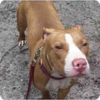 Pit Bull Terrier Mix Dog for adoption in Orlando, Florida - Lambert