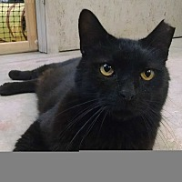 Domestic Shorthair Cat for adoption in St. James City, Florida - Alcala