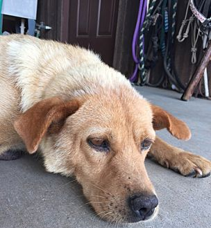Chow Chow Mix Dog for adoption in Cat Spring, Texas - Charlie