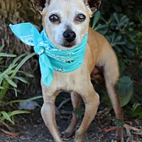 Chihuahua Mix Dog for adoption in Rancho Palos Verdes, California - Dewey