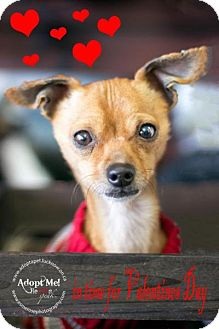 Chihuahua Mix Dog for adoption in Lucknow, Ontario - Bonded- Oscar