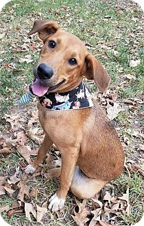 Retriever (Unknown Type)/Shepherd (Unknown Type) Mix Dog for adoption in Saratoga Springs, New York - Izzee ~ ADOPTED!