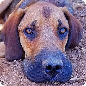 Bloodhound/Hound (Unknown Type) Mix Puppy for adoption in Kingston, Tennessee - Duke