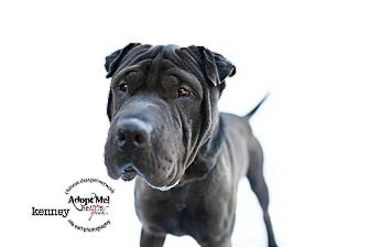 Shar Pei Mix Dog for adoption in Mira Loma, California - Kenny - pending