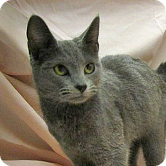 Russian Blue Cat for adoption in Fayetteville, Tennessee - 17-c03-005 Eugenie