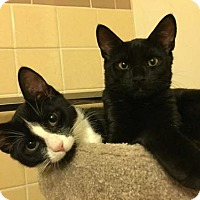Adopt A Pet :: Benny and June-Kitten Siblings(Courtesy Listing) - New City, NY