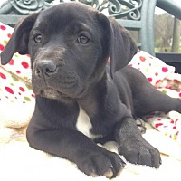 Adopt A Pet :: Thessaly - Boston, MA