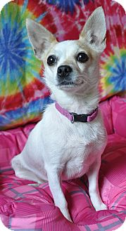 Chihuahua Mix Dog for adoption in Bedminster, New Jersey - Chica