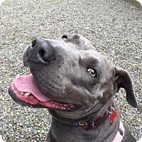 Adopt A Pet :: Zoey - Blue-Nosed Cutie Pie! - Seattle, WA
