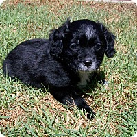 Adopt A Pet :: Mork - La Habra Heights, CA