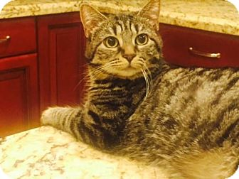 Domestic Shorthair Cat for adoption in Glendale, Arizona - Sophie (Tabby)