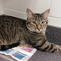 Domestic Shorthair Cat for adoption in Barnwell, South Carolina - Abigail