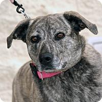Shepherd (Unknown Type) Mix Dog for adoption in Palmdale, California - Gerdy