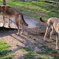 Hound (Unknown Type)/Husky Mix Dog for adoption in Portland, Maine - PAYTON & CACHE