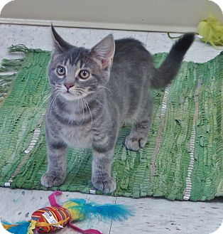 Domestic Shorthair Cat for adoption in Chambersburg, Pennsylvania - Revvy
