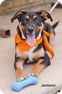 Shepherd (Unknown Type) Mix Dog for adoption in Manchester, Connecticut - Jackson meet me 4/21