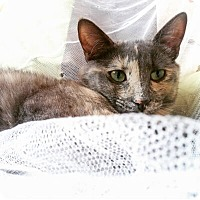 Adopt A Pet :: Bilquis - Mississauga, Ontario, ON