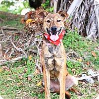 Labrador Retriever Mix Puppy for adoption in Castro Valley, California - Delia